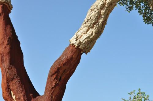 Kork wird aus der Rinde der Korkeiche gefertigt. Foto: Pixabay