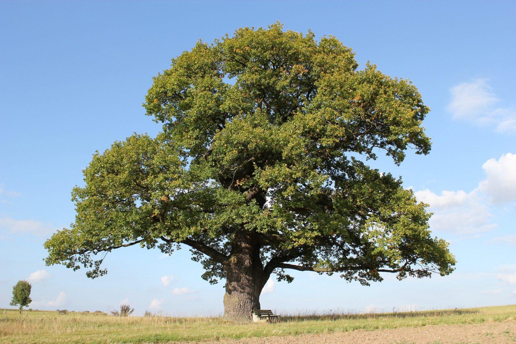 Die Eiche gilt als Inbegriff des deutschen Baums. Foto: Pixabay