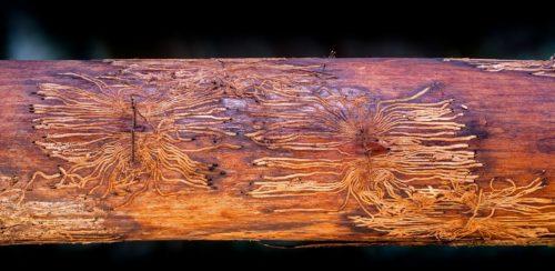 Borkenkäfer-Fraßspuren in einem Baumstamm. Foto: Pixabay