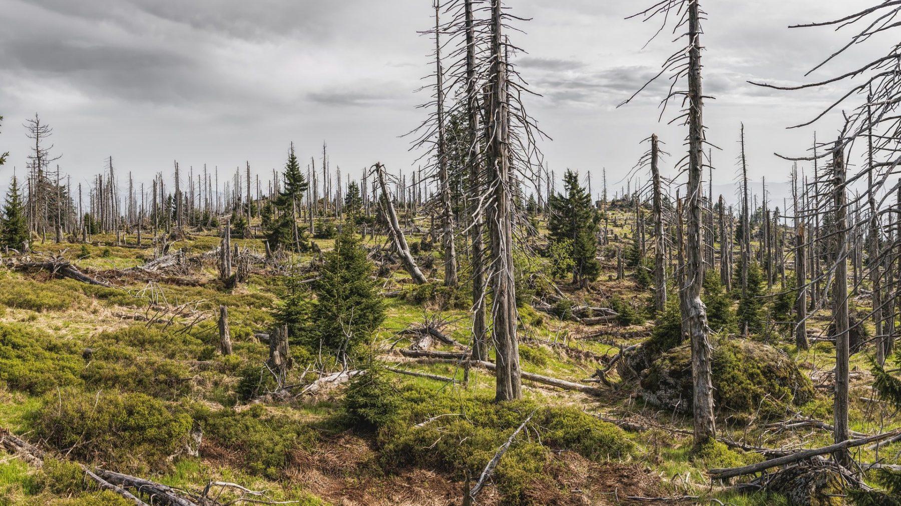 Aufnahme vom Mai 2018: Fichtensterben im Bayerischen Wald. Foto: Pixabay