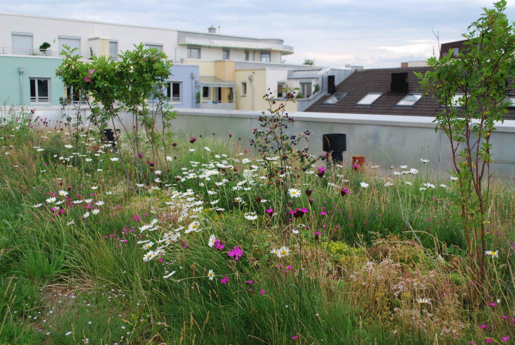 Bei dieser Münchner Dachbegrünung ermöglichen Substrat-Anhügelungen auch Stauden- und Gehölzpflanzungen. Foto: BuGG