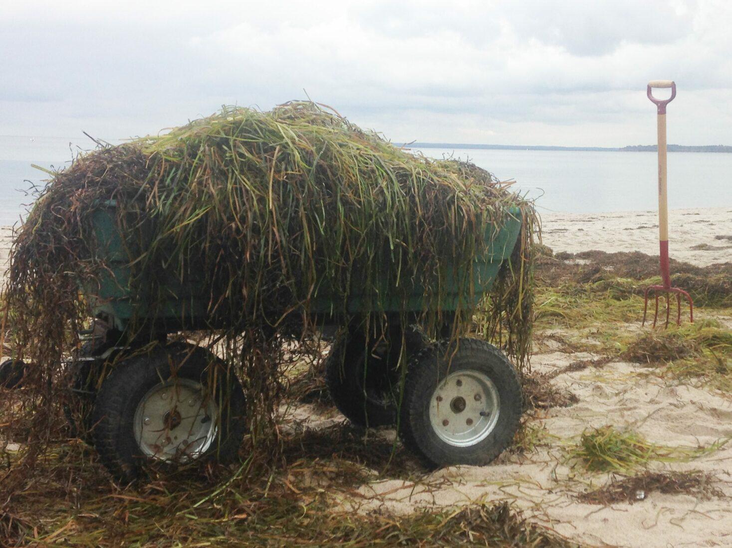 Nützliches Strandgut: Frisches Seegras aus der Ostsee. Foto: Seegrashandel.de