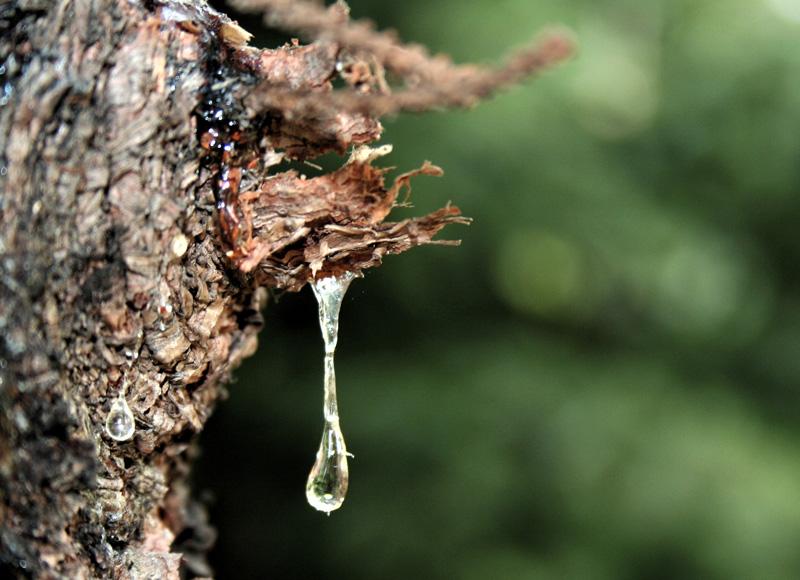 Naturharz am Baum
