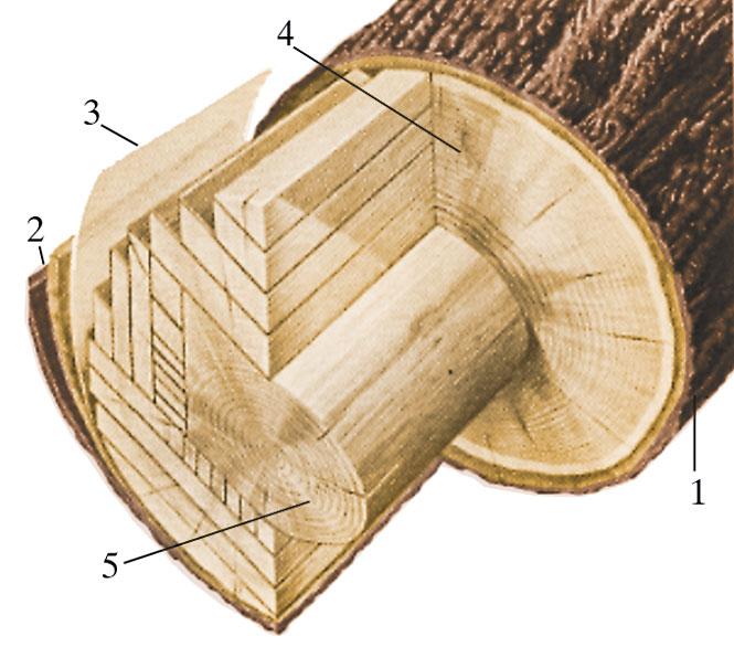 Aufbau eines Baumstammes